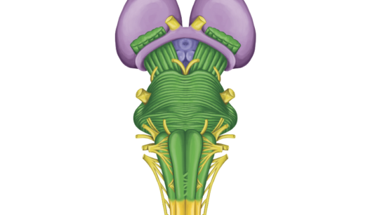 Brain stem image