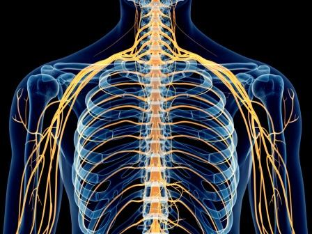 Intercoastal nerves, thoracic nerves