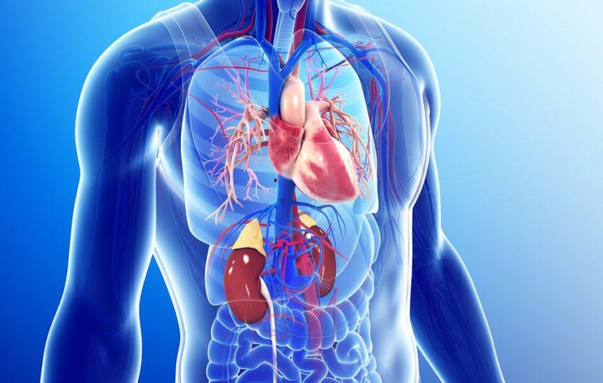 CV system, cardiovascular