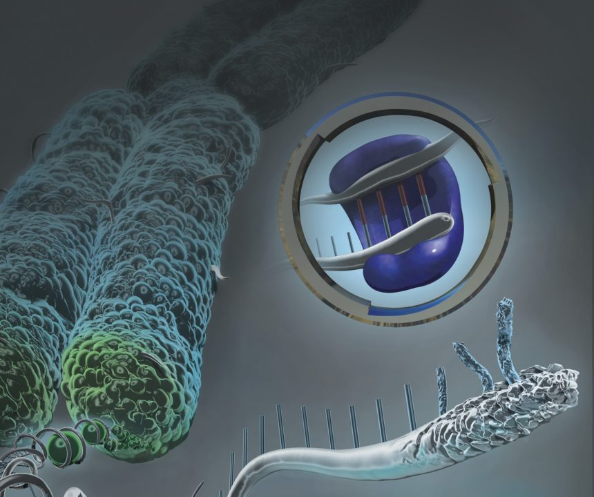 Chromosome unraveled to show DNA and damaged telomere