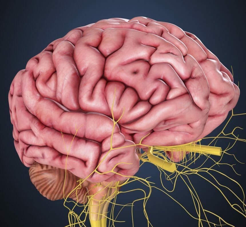 human brain with nerves